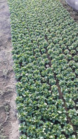 Hier wächst Feldsalat.